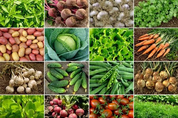 sklízení zeleniny na podzim