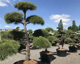 Jak na pěstování cesmíny vroubkované 'Green Hedge'