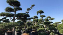 Připravte tvarované stromy na zimu. Víte, jak na to?