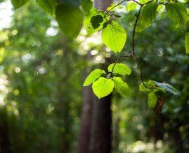 Přemýšlíte nad okrasným stromem? Vsaďte na buk lesní