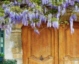 Fialová krása – jak na pěstování Vistárií